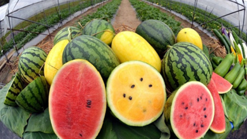 Watermelon come in various colors and tastes and size